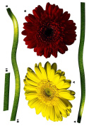 Brewster Komar FS17011 Peel & Stick Gerbera European Wall Decals