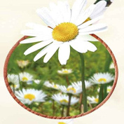 Chamomile Oil- 100% Pure and Natural Extracted by Cold pressing process No artificial / synthetic fragrance, flavour or preservative
