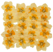 Pressed flowers, natural daffodils 20pcs