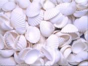 0.5kg (about 80) White Ark Shells Seashells (2.5cm - 3.8cm ) Beach Wedding Hobby Crafts