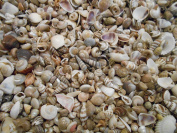 BULK 1.8kg Tiny Size Indian Ocean Shell Mix Seashells Shellcraft Nautical Decor