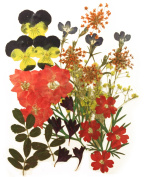 Pressed flowers mixed, pansy, larkspur, cornflower, alyssum, verbena, yellow baby breath, lobelia, foliage