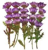 Pressed flowers dark purple chrysanthemum 20pcs for art, craft, card making, scrapbooking