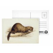 A Weasel, 1832 (w/c, pen, ink, gouache and.. - Postcard (Pack of 8) - 15cm x 10cm - Art247 Highest Quality - Standard Size - Pack Of 8