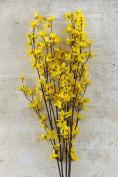 Mini Forsythia Bush Yellow 70cm