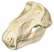 Chacma Baboon Skull (Male)