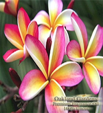 BULK Fragrance Oil - PLUMERIA Fragrance Oil - A clean floral with a hint of summer breeze - By Oakland Gardens (120 mL - 4.0 fl oz Bottle)