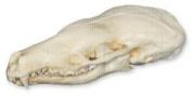 Eastern Mole Skull