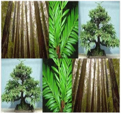 California Redwood Tree Seeds - Sequoia sempervirens Tree Seeds - By MySeeds.Co
