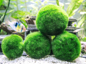 6 Marimo Moss Ball Variety Pack - 4 Different Sizes of Premium Quality Marimo from Giant 6.4cm to Small 2.5cm - World's Easiest Live Aquarium Plant - Sustainably Harvested and All-Natural