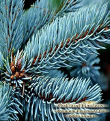BLUE SPRUCE Fragrance Oil & Essential Oil Blend - 100% UNCUT - Sophisticated blended with pine and cedarwood essential oils - BULK Fragrance Oil By Oakland Gardens