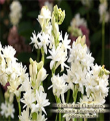 TUBEROSE Fragrance Oil - Heavy, white floral with lushness of tropical blossoms - By Oakland Gardens