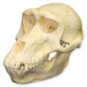 Hamadryas Baboon Skull (Female)