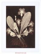 VINTAGE PHOTO 19TH CENTURY BOTANICAL PHOTOGRAM WORK FRAMED PRINT F97X7643