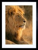 23cm x 18cm BIG AFRICAN LION SITTING SUN FRAMED ART PRINT PICTURE MOUNT PHOTO F97X196