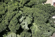 Curly Kale - Dwarf Blue Green Curled, 5g Approx 1750 Seeds, Untreated