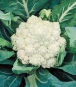 Premier Seeds Direct Cau03 Cauliflower Speedy Early Jesi Italian Seeds Pack Of