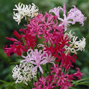 Hardy Nerines X 20 Bulbs In 4 Colours