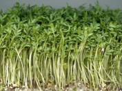 Premier Seeds Direct Org130 40g Cress Organic Sprouting Seeds
