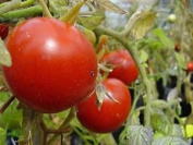 Premier Seeds Direct Tomato Heinz 1350 Includes 100 Seeds