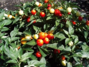 Premier Seeds Direct Pepper Hot Holiday Cheer Includes 60 Seeds