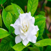 GARDENIA FRAGRANCE OIL - 60ml - FOR CANDLE & SOAP MAKING BY VIRGINIA CANDLE SUPPLY - FREE S & H IN USA