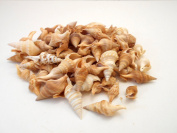 240ml (about 300) Javana Seashells 1.9cm - 3.8cm Java Turrid Craft Beach Nautical Decor