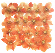 Pressed flowers, light orange daffodil 20pcs for floral art, craft, card making, scrapbooking