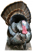Thanksgiving Turkey Life Size Cardboard Cutout SC2027