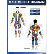Productive Fitness Poster Series Male Muscle Diagrams Non Laminated