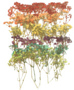 Pressed flowers, baby breath mixed colours, gypsophila, red, yellow, orange, purple, turquoise, green