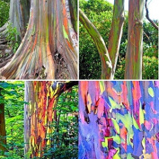 PhilMat 40pcs Rainbow Eucalyptus Seeds Eucalyptus Deglupta Seeds Garden Decor Plant