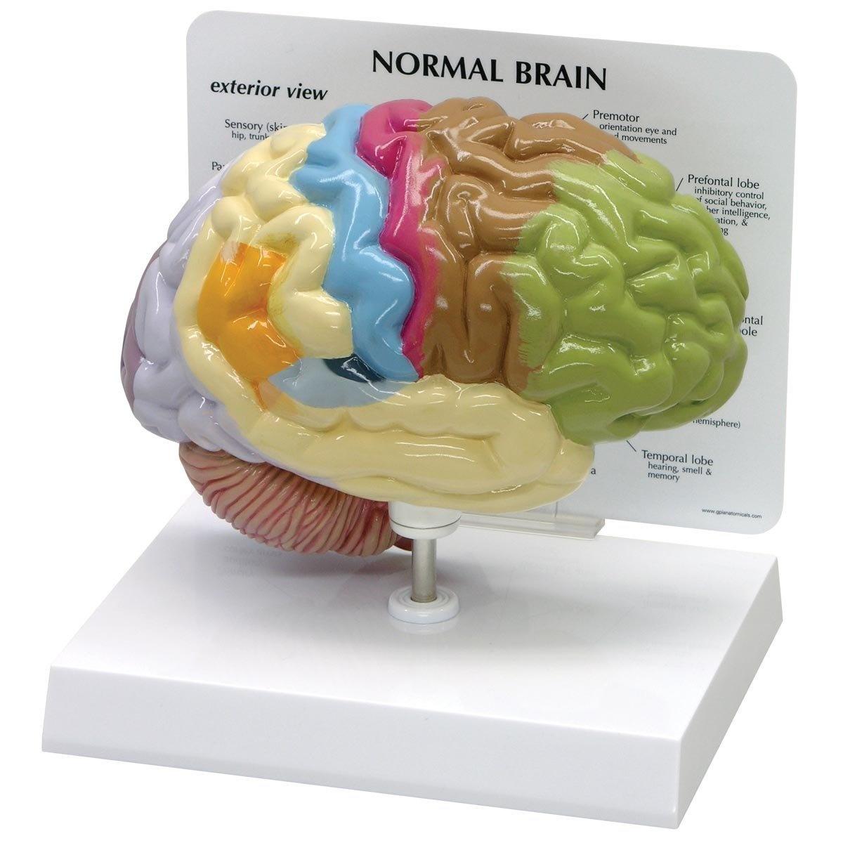 Human Brain Anatomical Model - Half Brain by 3B Scientific - Shop ...