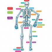 Teacher Created Resources Human Skeleton Accents