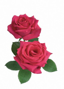 Candle Rose Fragrance Oil 10 ml