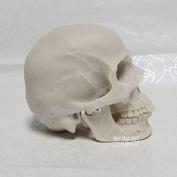 Earlywish Arts Human Skull Replica Resin Model Medical Realistic Drawing Anatomy NEW 1:2