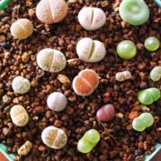 Masterein 100pcs/Bag Beautiful Lithops Seeds Plants Seeds for Home Garden Decor Plant Seeds