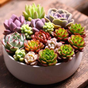 Masterein 100pcs/Bag Succulent Plant Seeds Flower Seeds for Living Room Home Garden Plant Seeds