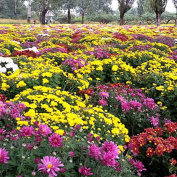 Masterein 100pcs/Bag Ground-cover Chrysanthemum Seeds Chrysanthemum Morifolium Garden Flower Seeds
