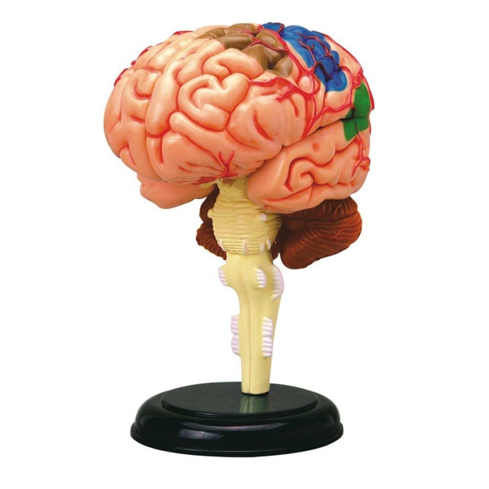 4D Vision Human Anatomy - Brain Anatomy Model by 4D Master by 4D ...